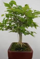 Bonsai Japanese beech, Fagus crenata, no. 6442