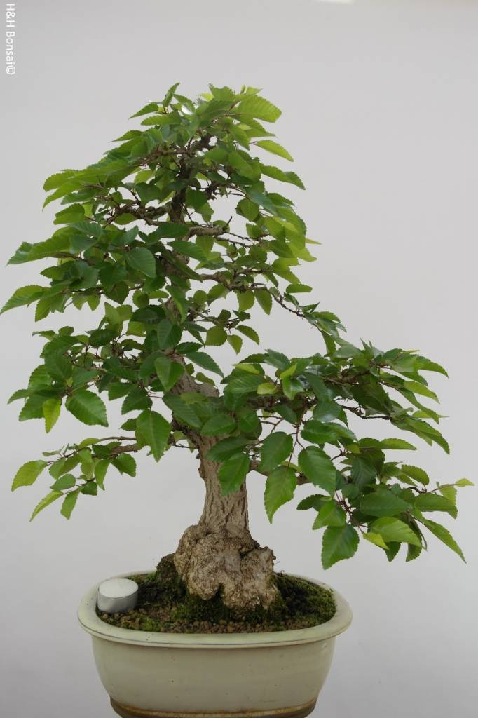 Bonsai Korean Hornbeam, Carpinus coreana, no. 5228