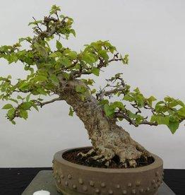 Bonsai Carpino coreano, Carpinus coreana, no. 5891