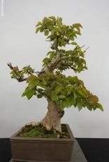 Bonsai Korean Hornbeam, Carpinus coreana, no. 5884