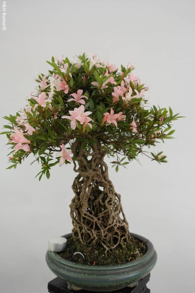 Bonsai Azalea Satsuki Shinniko, no. 5315