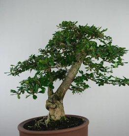 Bonsai Pianta del tè, Carmona macrophylla, no. 6506