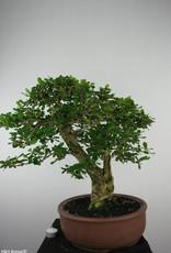 Bonsai Fukien tea, Carmona macrophylla, no. 6506