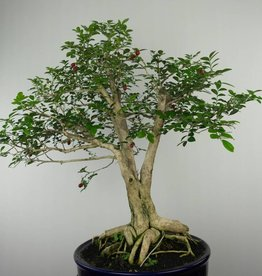 Bonsai Orange jasmine, Murraya sp., no. 6519