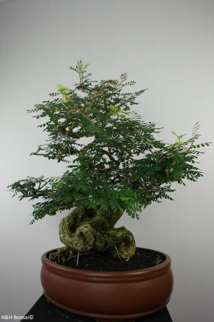 Bonsai Tamarin, Tamarindus, no. 6520