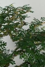 Bonsai Tamarind, Tamarindus, no. 6520