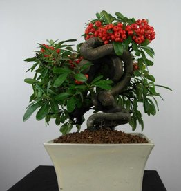 Bonsai Piracanta, Pyracantha, no. 6523