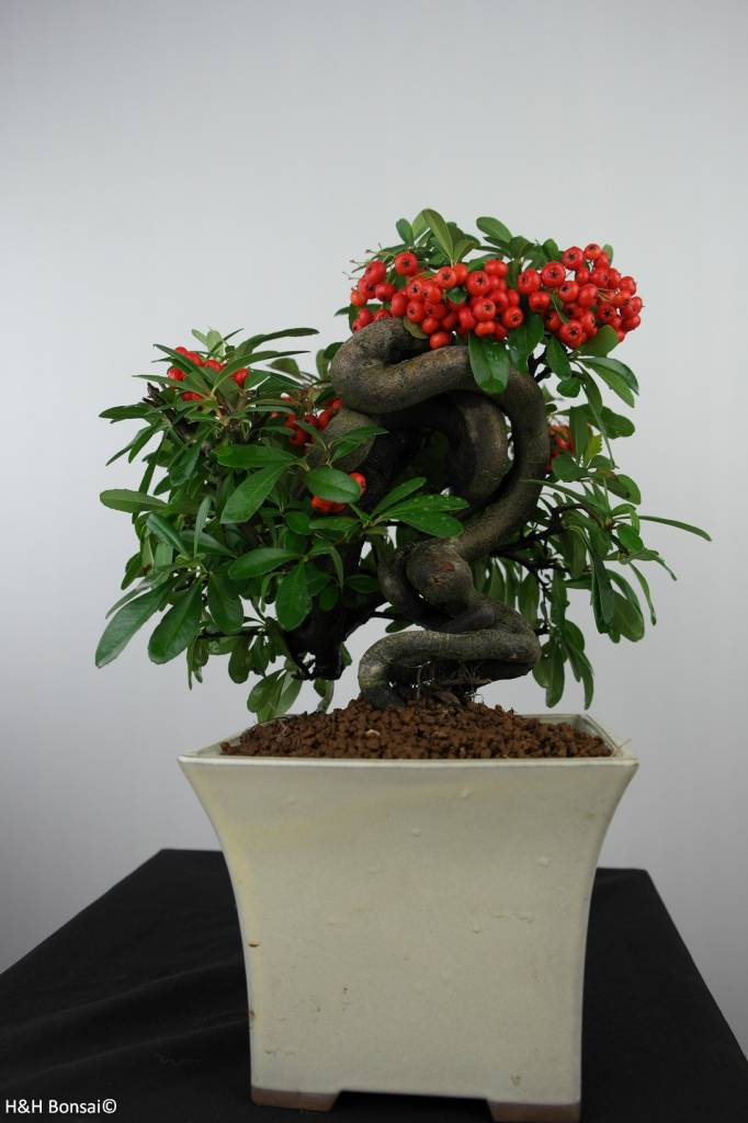 Bonsai Piracanta,Pyracantha, no. 6523