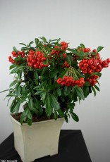 Bonsai Firethorn, Pyracantha, no. 6523