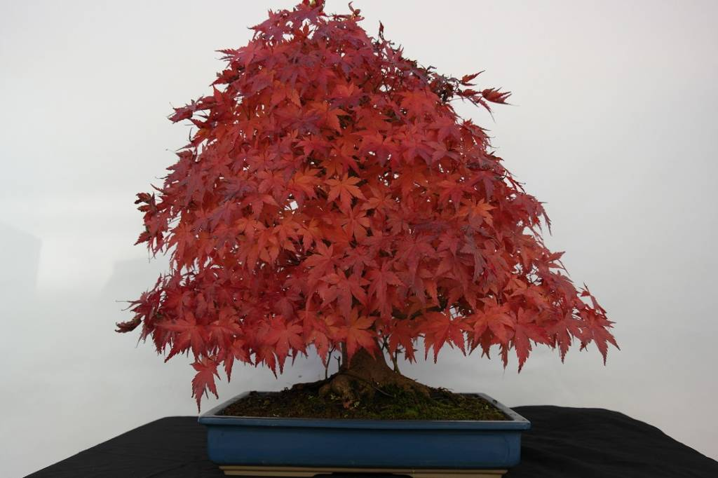 Bonsai acero palmato acer palmatum no 5509 www for Acero bonsai vendita