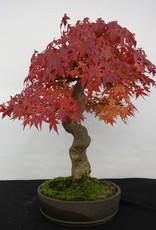 Bonsai Acero palmato, Acer palmatum, no. 5117
