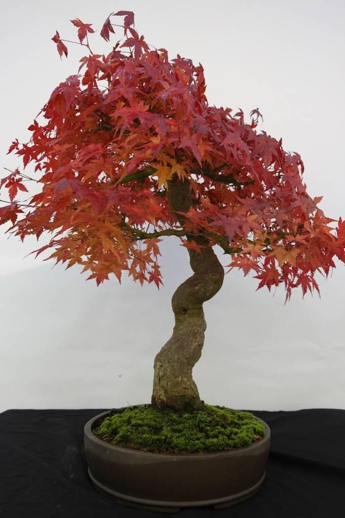 Bonsai Japanese Maple, Acer palmatum, no. 5117