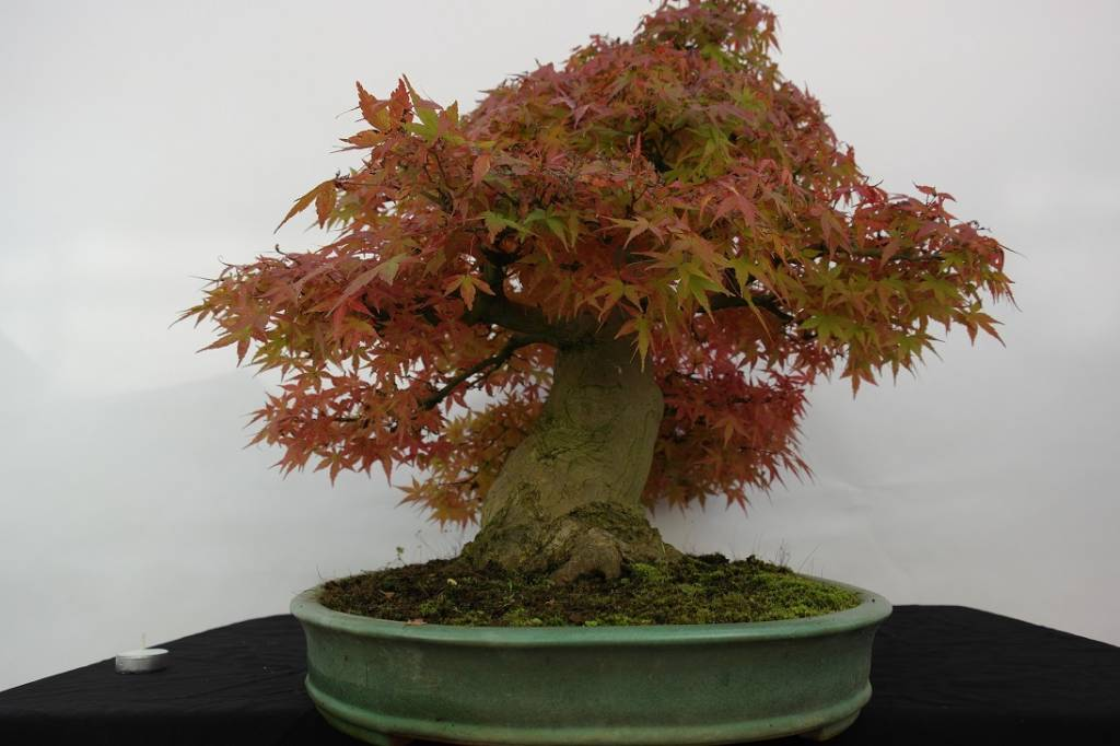 Bonsai Japanese maple, Acer palmatum, no. 5508