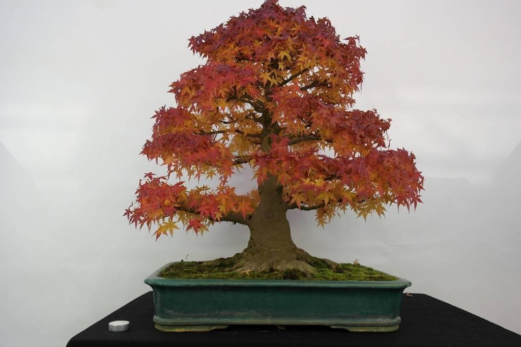 Bonsai Acero palmato, Acer palmatum, no. 5499