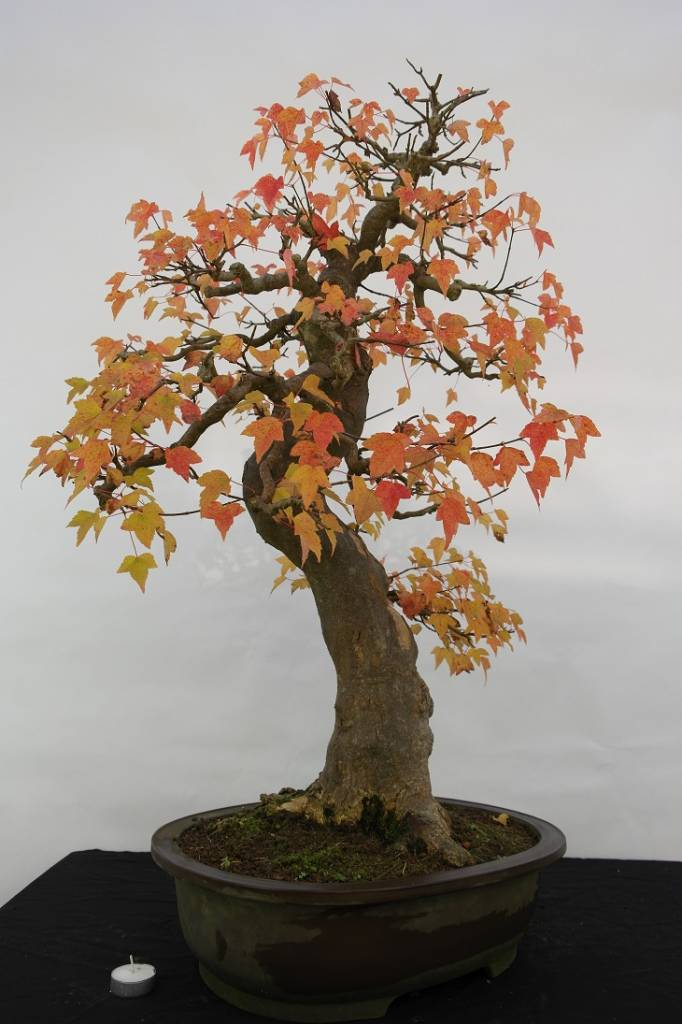 Bonsai Trident maple, Acer buergerianum, no. 5114