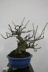 Bonsai Crabapple, Malus sieboldii, no. 5105