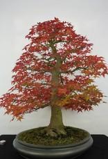 Bonsai Acero palmato deshojo , Acer palmatum deshojo , no. 5231