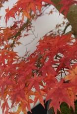 Bonsai Japanese Red Maple, Acer palmatum deshojo, no. 5231