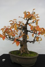 Bonsai Quince, Cydonia oblonga, no. 5573