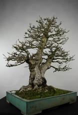 Bonsai Korean Hornbeam, Carpinus coreana, no. 5135