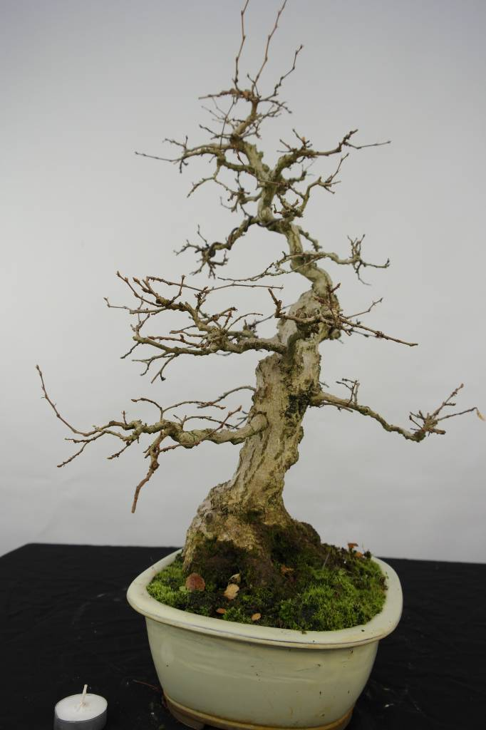 Bonsai Korean Hornbeam, Carpinus coreana, no. 5228