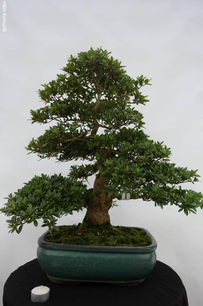 Bonsai Azalea SatsukiJuko no Homare, no. 5688