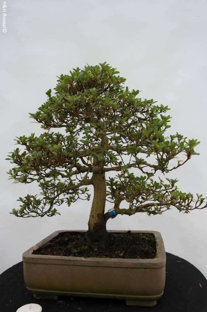 Bonsai Azalea Satsuki, no. 5692