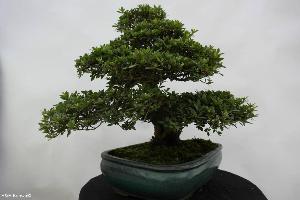 Bonsai Azalea Satsuki Byakuren, no. 5866