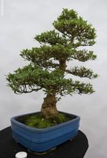 Bonsai Azalea Satsuki Juko no Homare, no. 5242