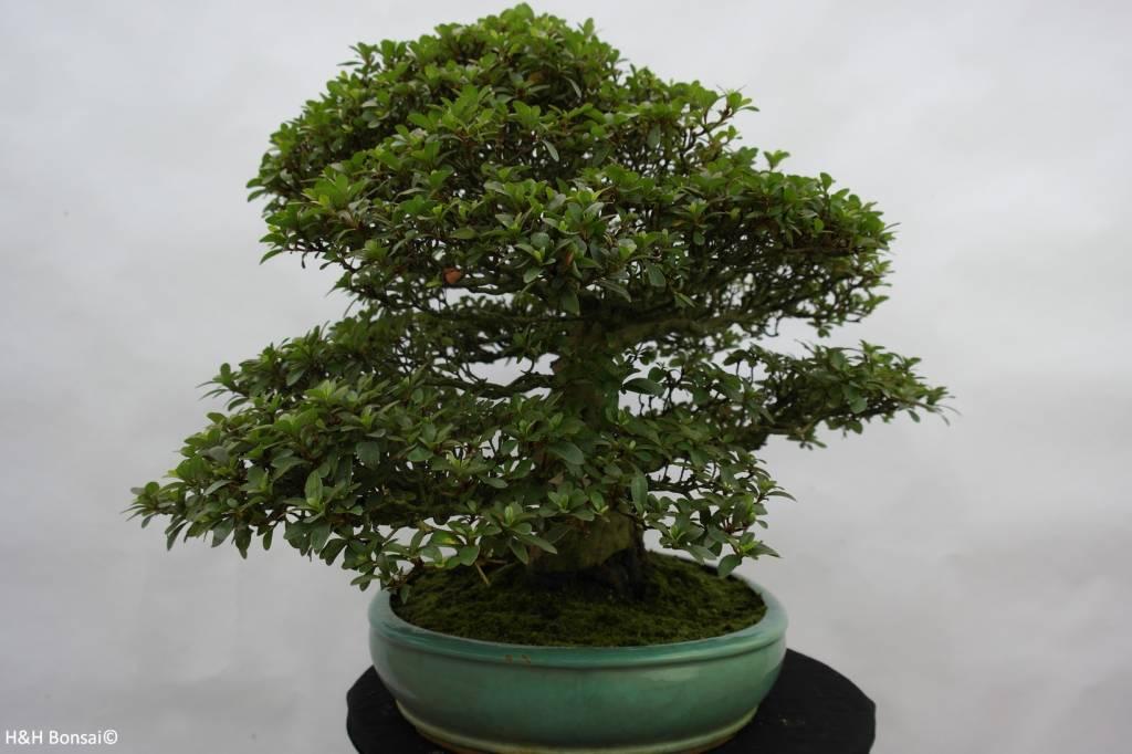 Bonsai Azalea SatsukiKaho, no. 5699