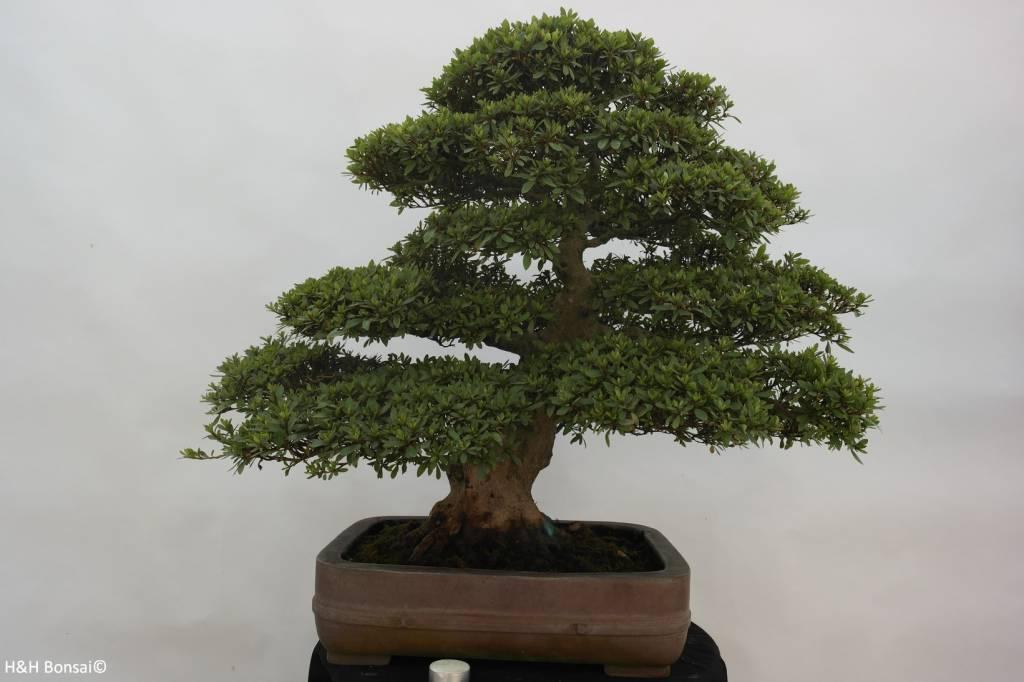 Bonsai Azalea Satsuki Nikko, no. 5252