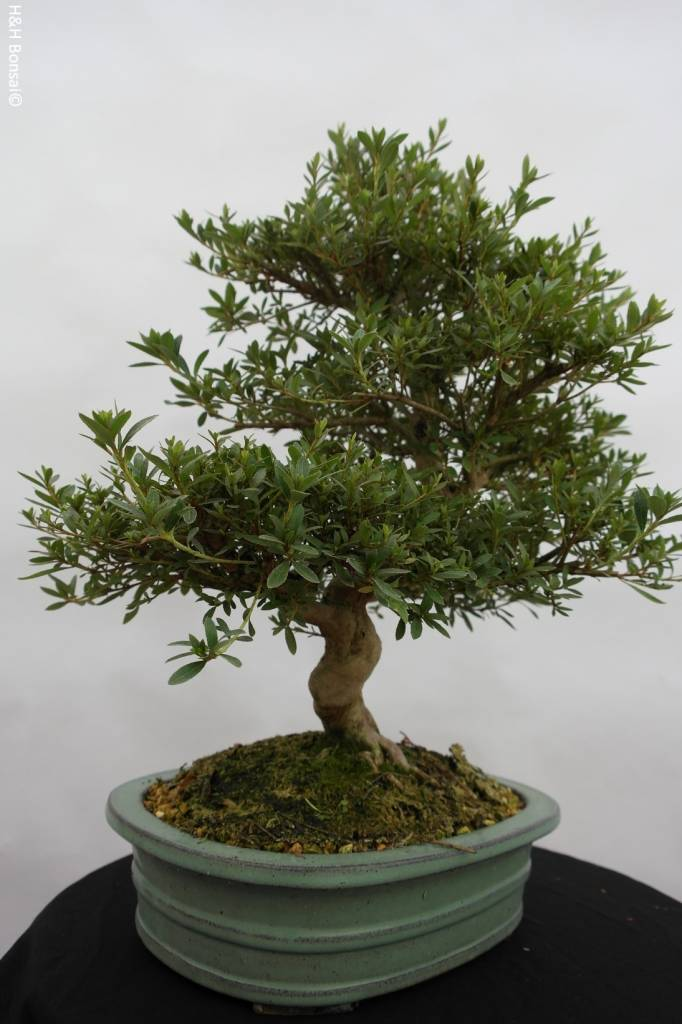 Bonsai Azalea Satsuki Togenkyo, no. 5939