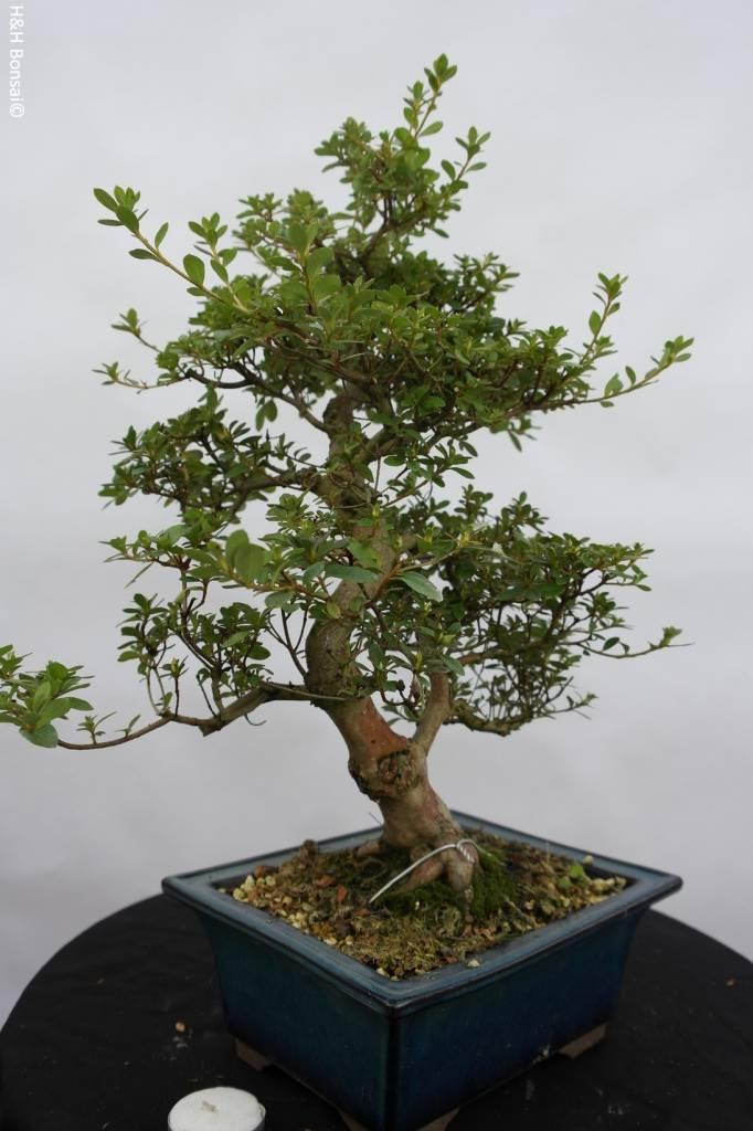 Bonsai Azalea SatsukiKakuo, no. 5980