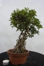 Bonsai Azalea Satsuki Seiko, no. 6469
