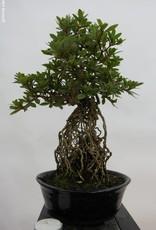 Bonsai Azalea Satsuki Aikoku no Hikari, no. 6428