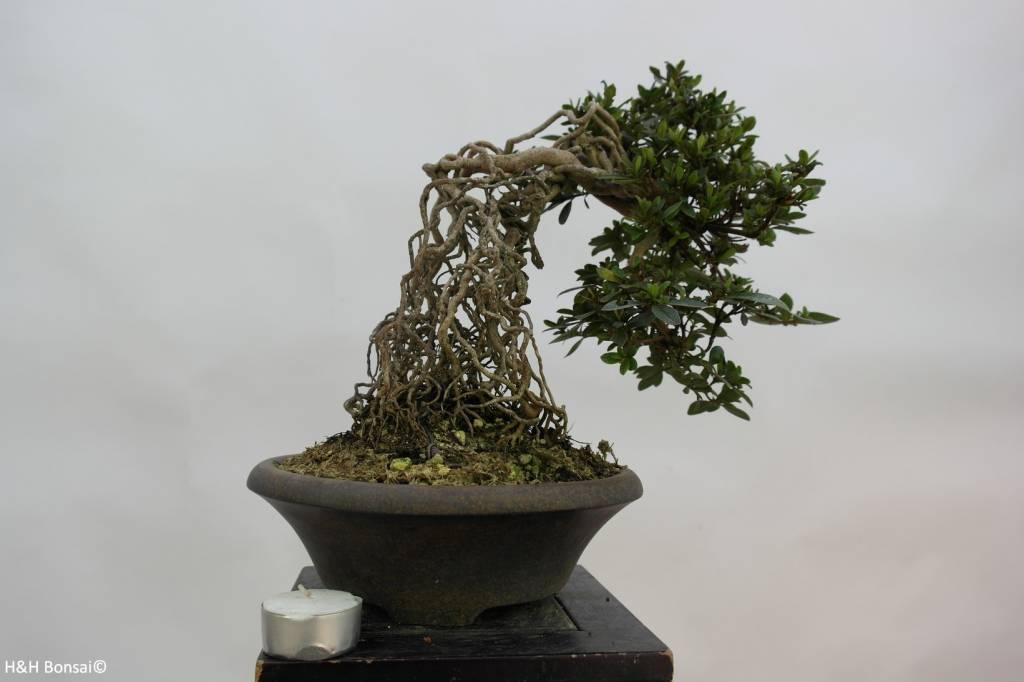 Bonsai Azalea Satsuki Hakurin, no. 6426