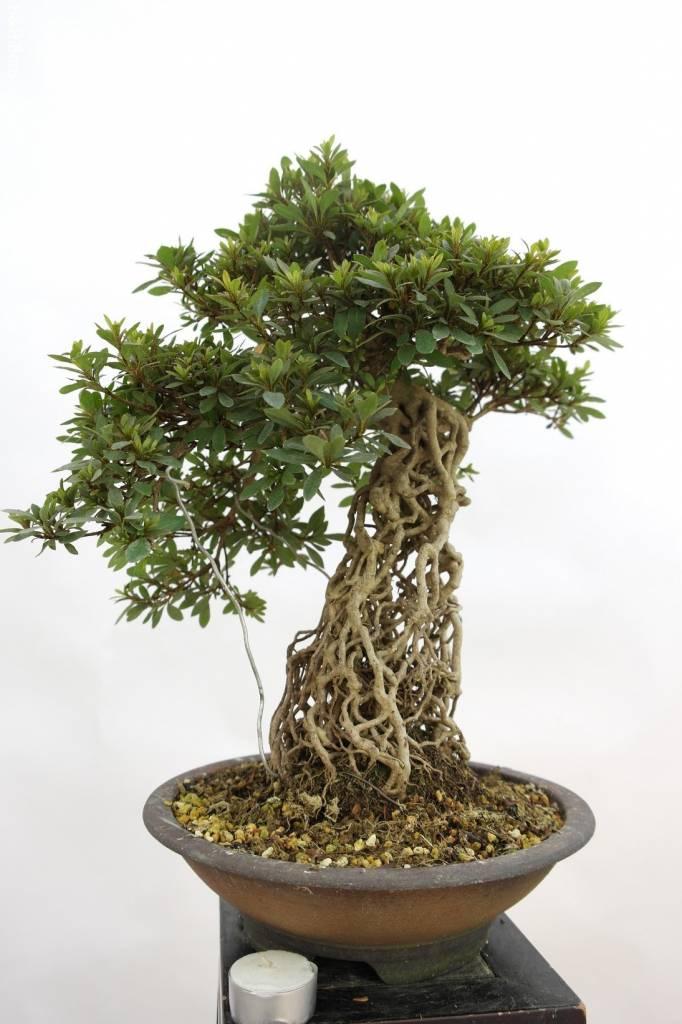 Bonsai Azalea Satsuki Nikko, no. 5313