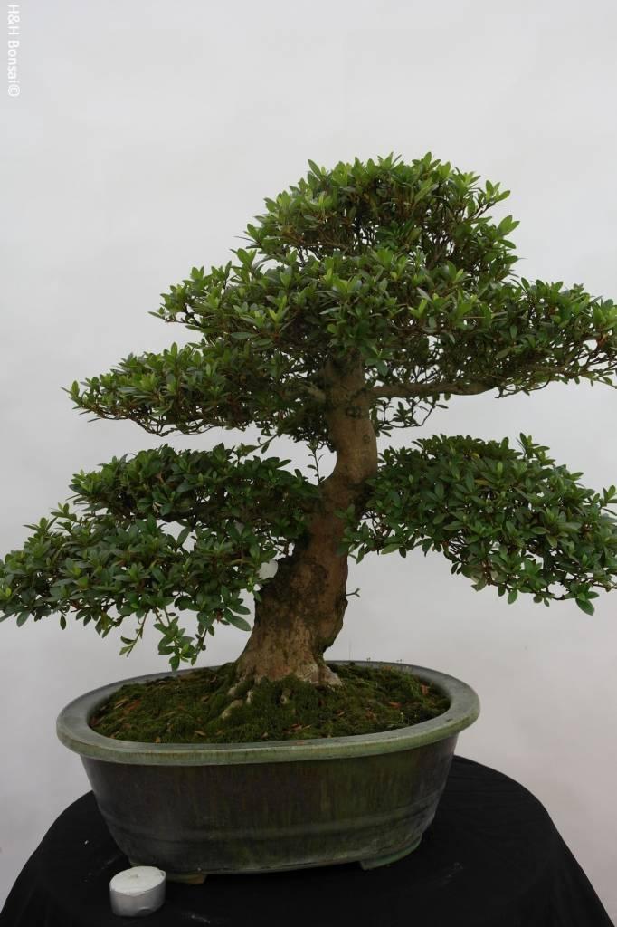 Bonsai Azalea SatsukiJuko no Homare, no. 5706