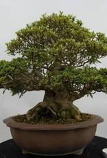 Bonsai Azalea Satsuki Nikko, no. 5186