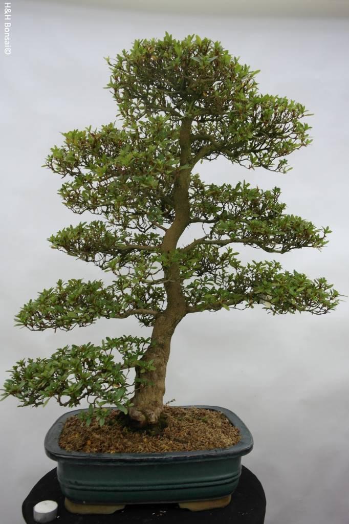 Bonsai Azalea SatsukiJuko no Homare, no. 5414