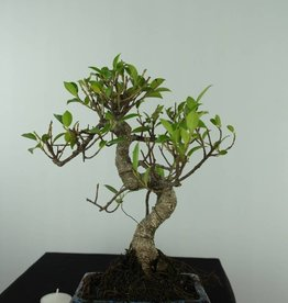 Bonsai Ficus retusa, no. 6538