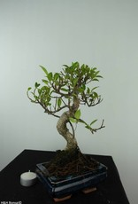 Bonsai Fig Tree, Ficus retusa, no. 6538