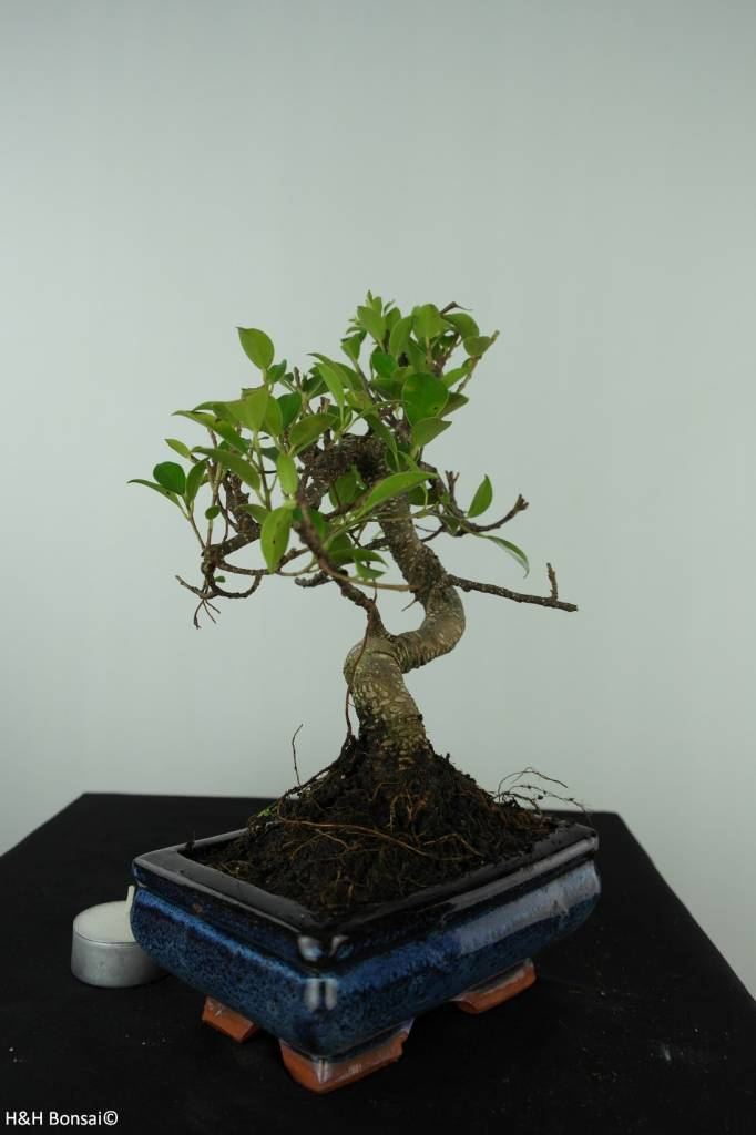 Bonsai Fig Tree, Ficus retusa, no. 6541
