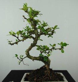 Bonsai Pianta del tè, Carmona macrophylla, no. 6558