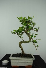 Bonsai Fukien Tea, Carmona macrophylla, no. 6559