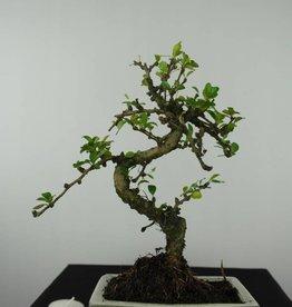 Bonsai Pianta del tè, Carmona macrophylla, no. 6560