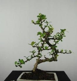 Bonsai Pianta del tè, Carmona macrophylla, no. 6561