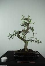 Bonsai Chinese Elm, Ulmus, no. 6580