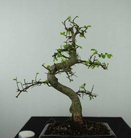 Bonsai Olmo cinese, Ulmus, no. 6581