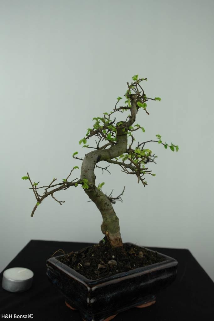 Bonsai Chinese Elm, Ulmus, no. 6581